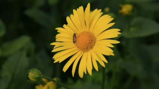 Insect on the yellow camomile flower