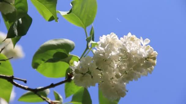 kvetoucí bílé květy Lila