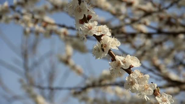 včela na kvetoucí sakura