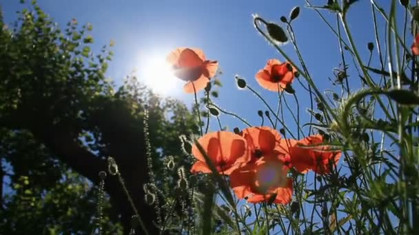 sluneční paprsky skrze květy červené Vlčí máky