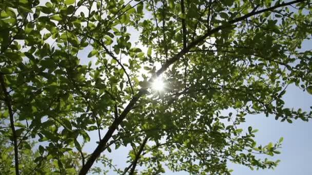 Sunrays through fresh spring tree leafs