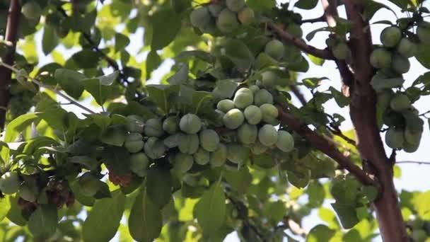 éretlen szilva gyümölcsök, a szilva-fa