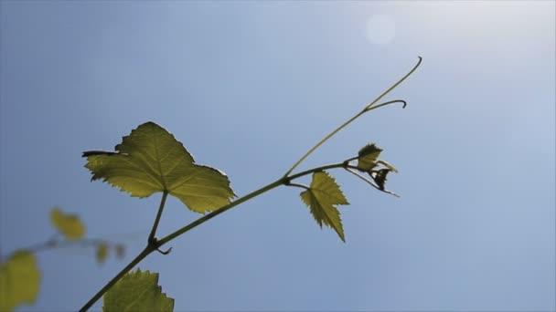 a fiatal levelek zöld szőlő ágacska