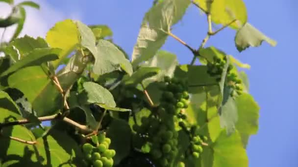 Green growing vine grapes in the garden