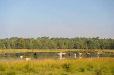 "Картина, постер, плакат, фотообои ""Природа пейзаж с коровами в воде"", артикул 31062961"