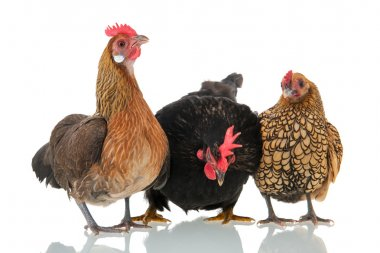 Chickens isolated over white background