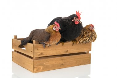 Chickens on wooden crate