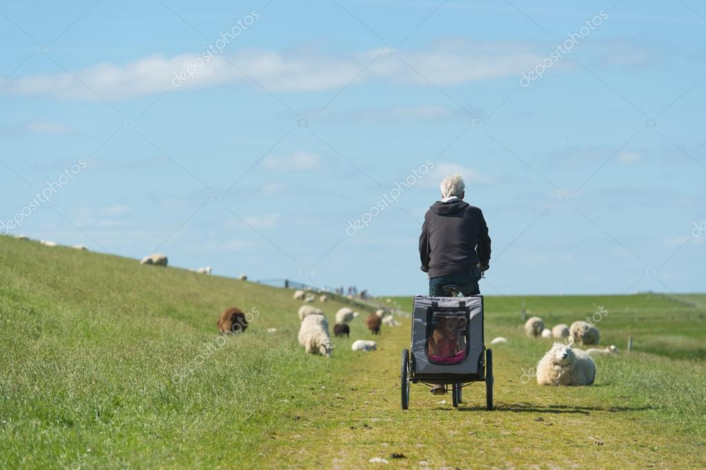 Man with bike on Dutch dike with sheep