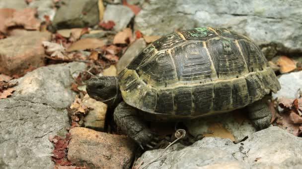 Egy teknős