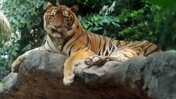epické tygr