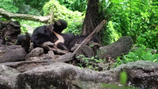 Black Bear resting