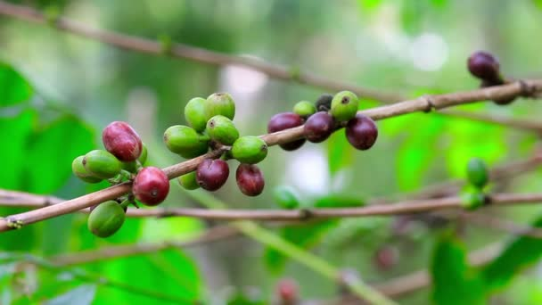 čerstvé kávy semen na stromě