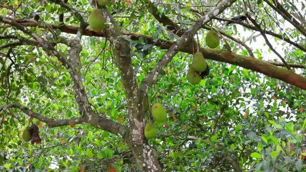 Jackfrucht am Baum in der Natur