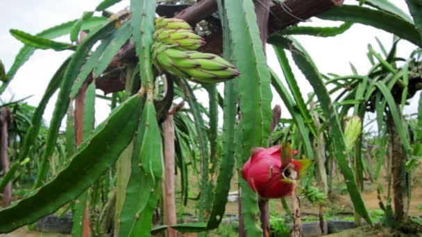exotická dračí ovoce zahrada