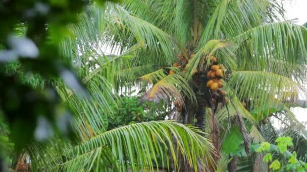 albero di cocco esotico in giorno di pioggia