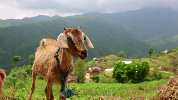 kráva pastviny