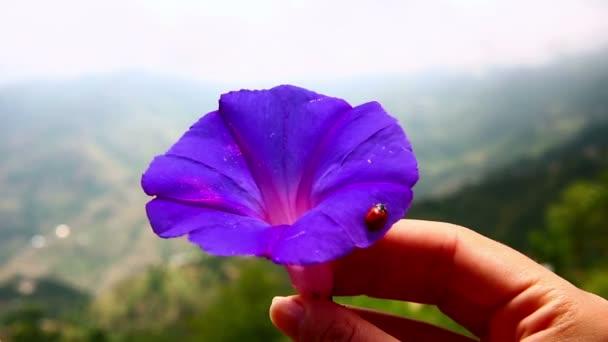Beruška na Fialový květ