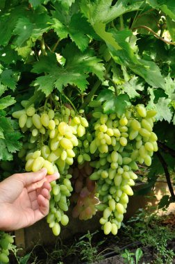 two bunches of white grape and a hand