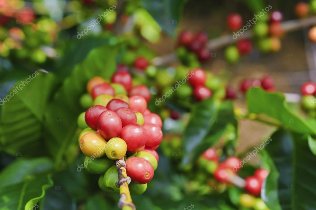 Coffee Cherries (Beans)
