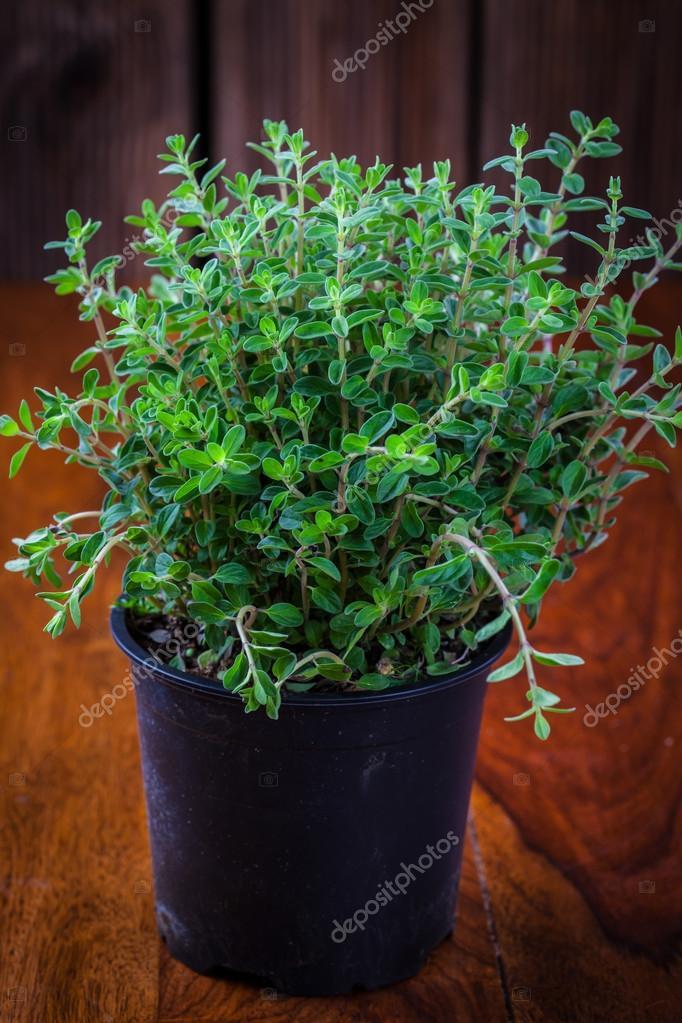 Marjoram in flower pot
