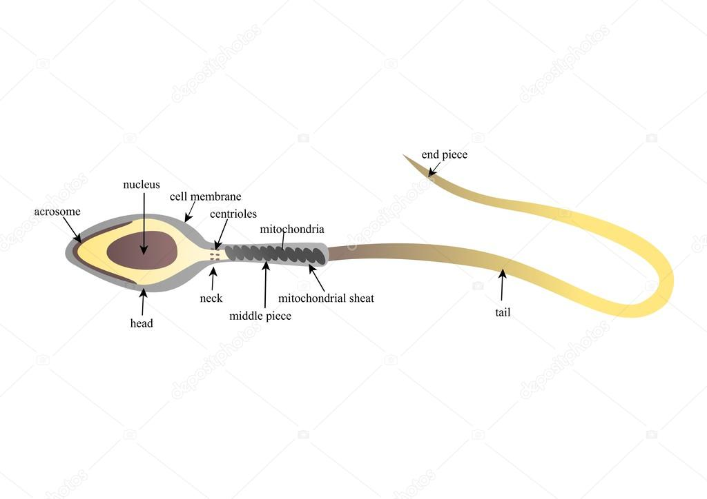 Sperm Anatomy Stock Photo Zuzanaa 46102279