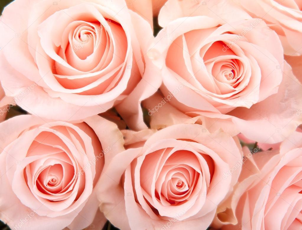 Розы бледно-розовые