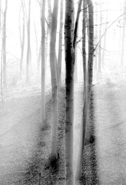 Trees in the forest with fog