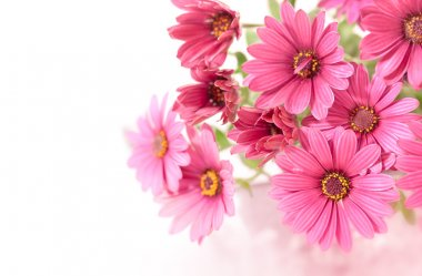 Pink flowers before white background