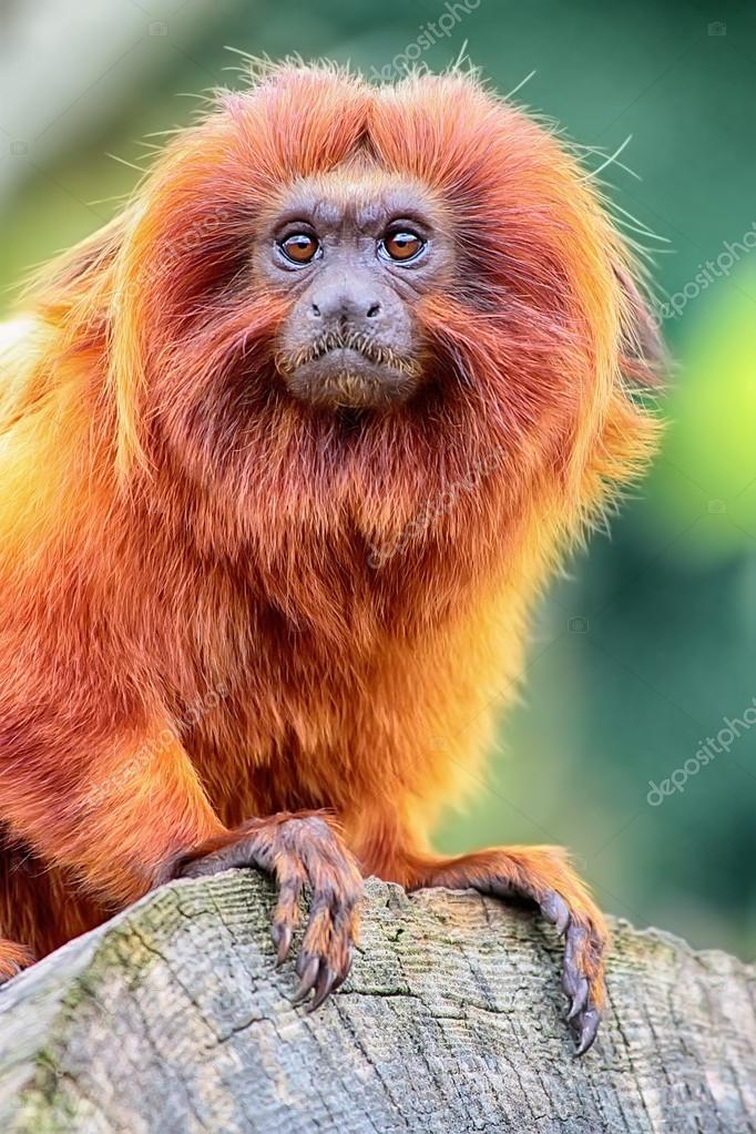 Golden Lion Tamarin perched on log close up view