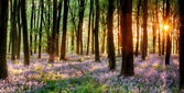 Fotografie Bluebell wood sunrise