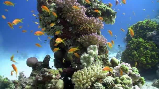 barevné ryby na pulzující korálový útes, statické scény, Rudé moře