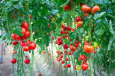 Farm of tasty red tomatoes