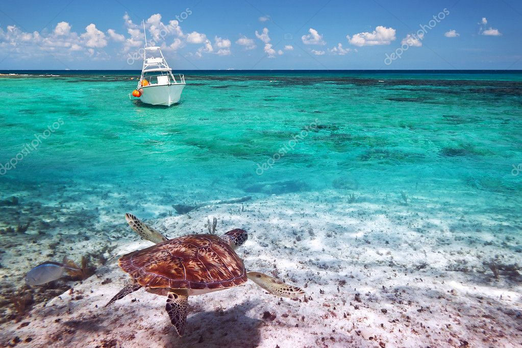 Green turtle in Caribbean Sea scenery