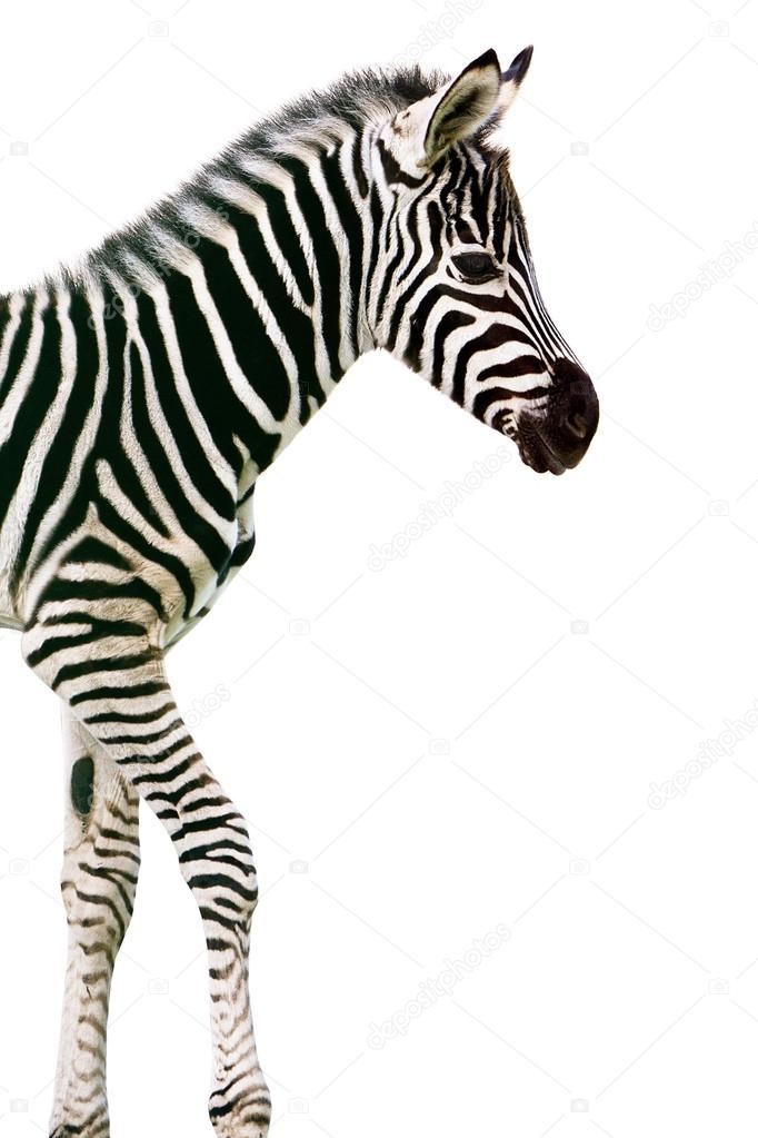 New born baby zebra