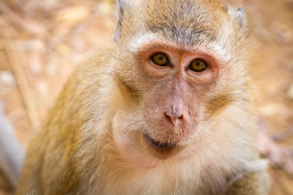 Macaque monkey in wildlife