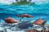 Dangerous bull sharks underwater