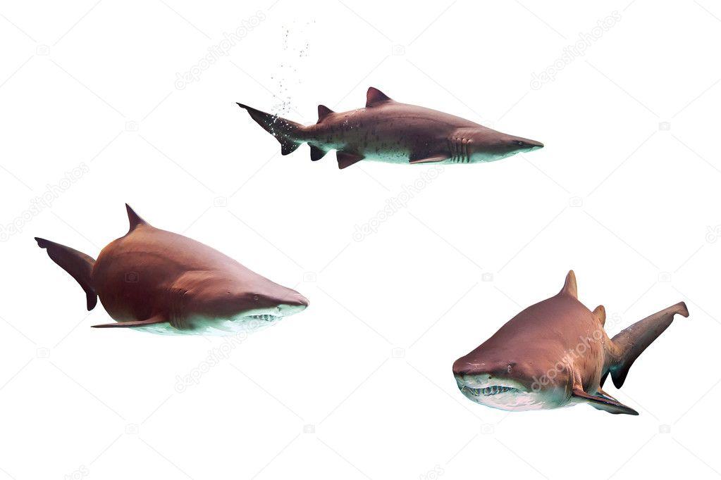 Dangerous bull sharks