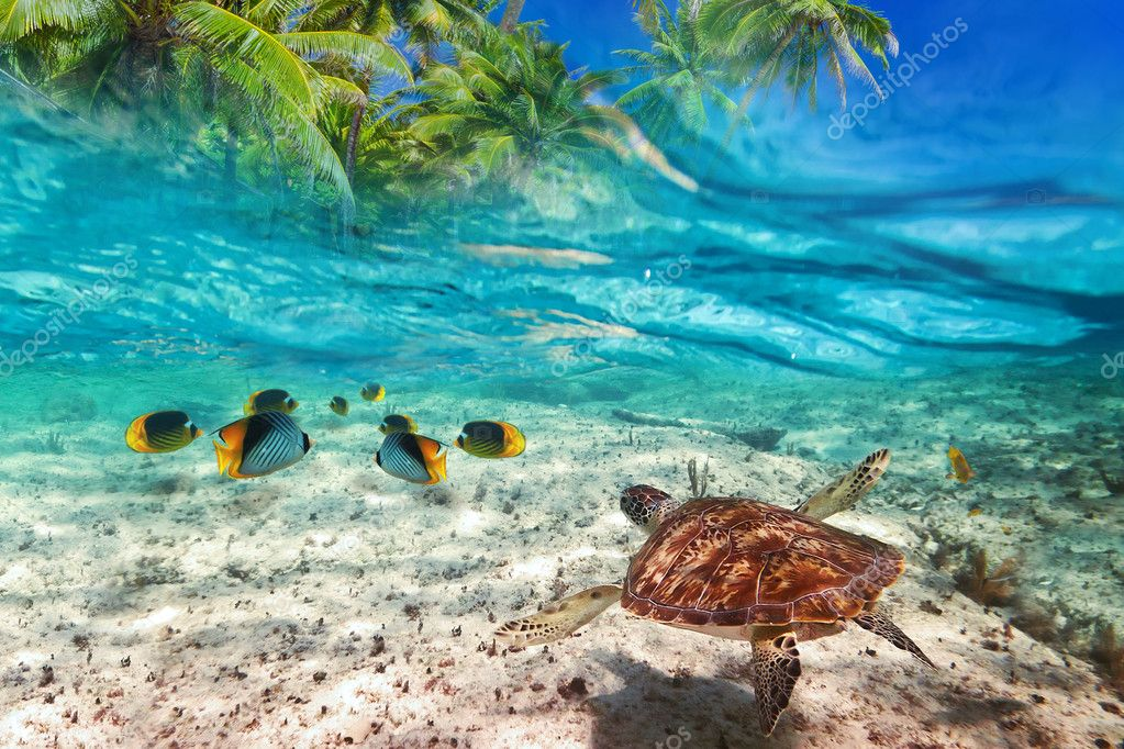 Green turtle swimming at tropical island