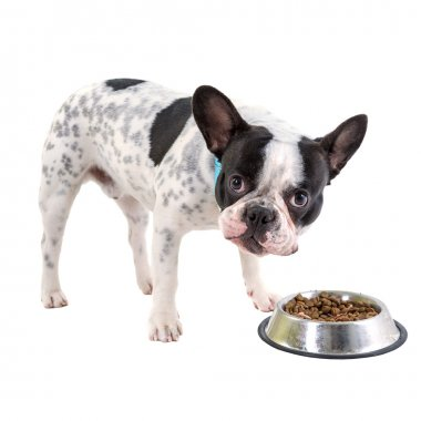 French bulldog with his bowl