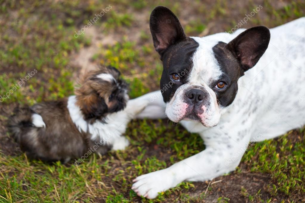 Fotos Bulldog Frances Recien Nacidos Cachorro Bulldog Francés Y