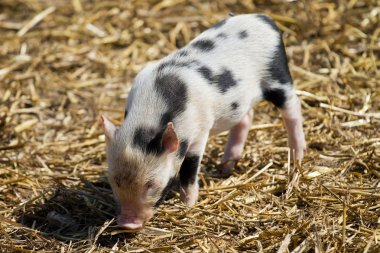 Small piggy with black spots on the background of straw