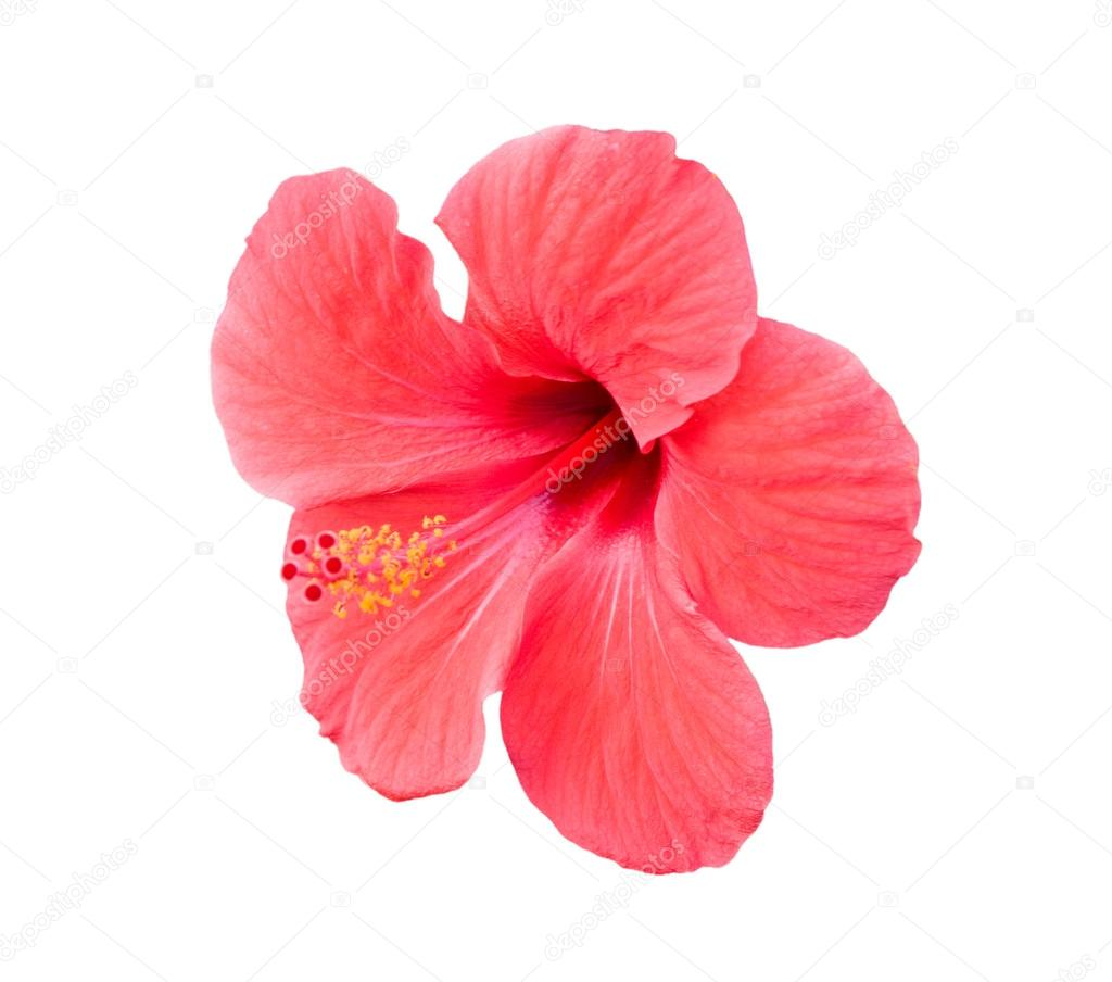 Pink Hibiscus Tropical Flower Over White Stock Photo Snowturtle
