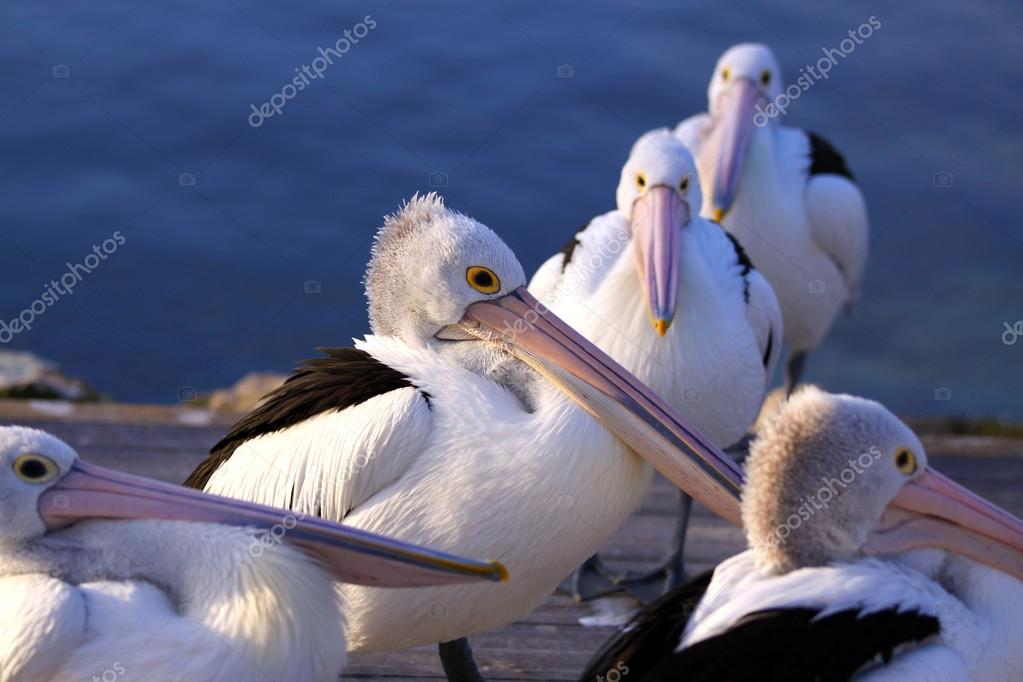 Australian Pelicans at Twilight. Kingscote, Kangaroo Island, So