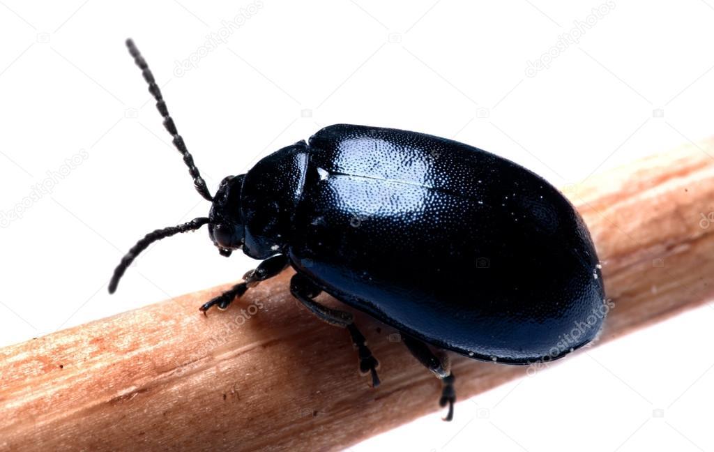 bousier fond bleu fonc noir isol blanc photographie natalyaa 46179135. Black Bedroom Furniture Sets. Home Design Ideas