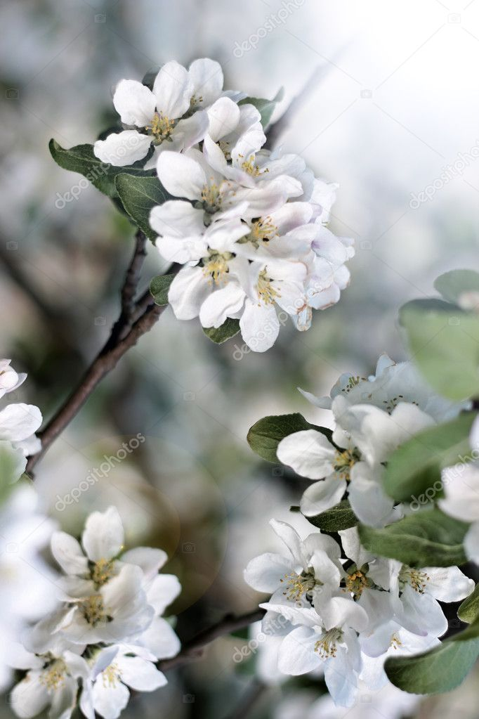 Dazzling white flower blossoms with pink unopened bud adorn crab apple tree branch in spring.