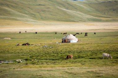 Farm animals pasturing near yurt