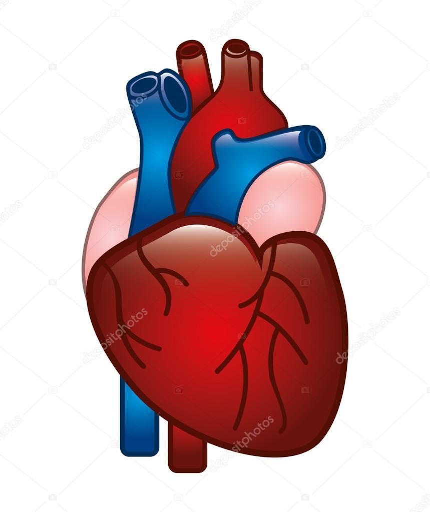Coraz n humano archivo im genes vectoriales yupiramos for Fotos del corazon