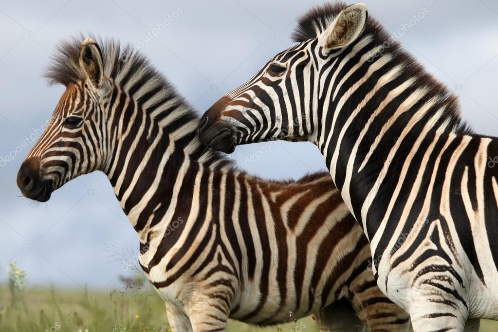 Zebra Mom and Foal
