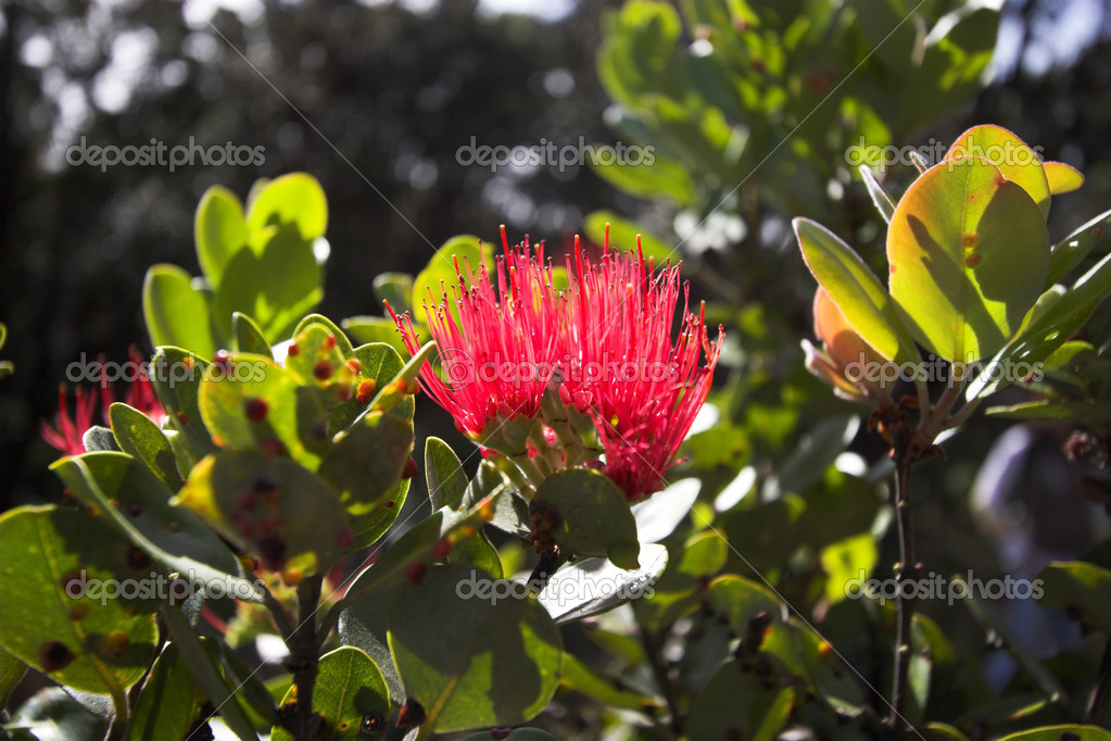 Flower blooming in Hawaii Volcanoes National Park — Stock Photo