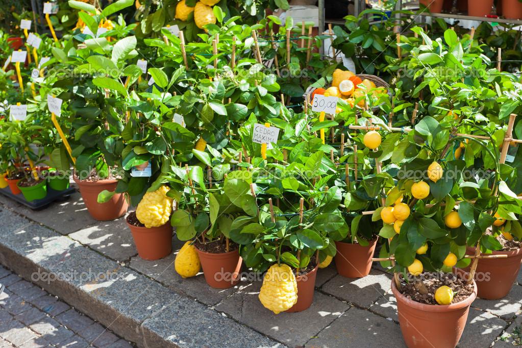 Homegrown citrus seedling pots